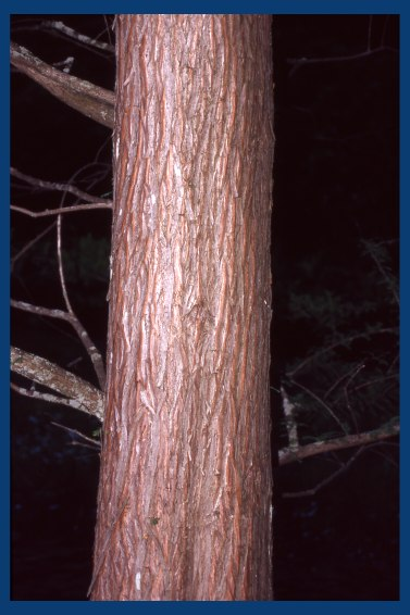 Bald Cypress Vs Dawn Redwood Bark